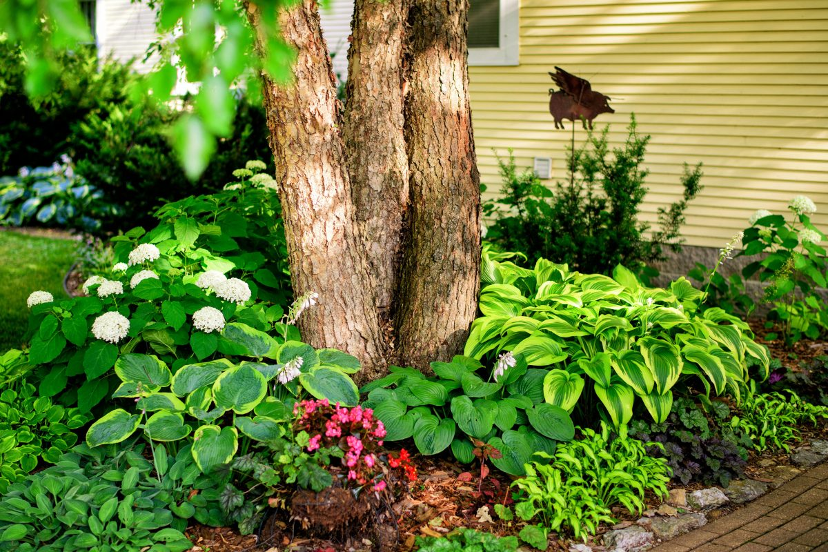 Many hostas have had their heyday already, but others are fragrant now. (Glen Stubbe/Minneapolis Star Tribune/TNS)
