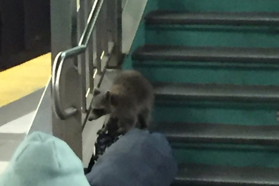A raccoon was spotted at PATCO's 8th and Market Street Station on Monday night.