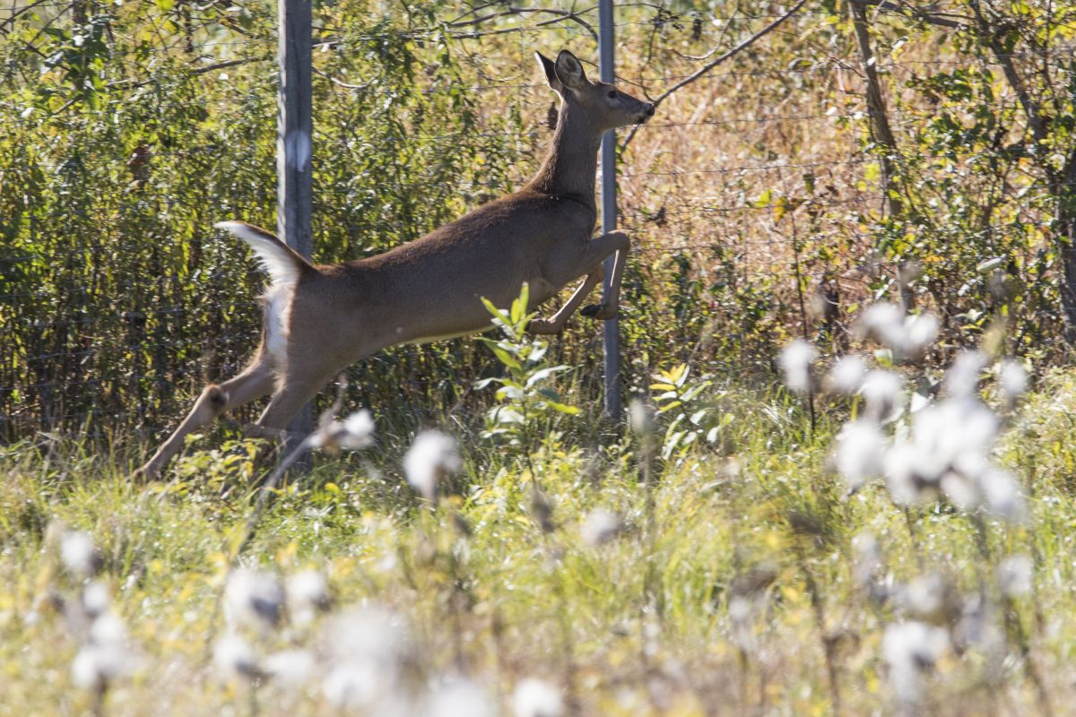 A whitetail deer running in Landisburg, Perry County, PA. CHARLES FOX / Staff Photographer