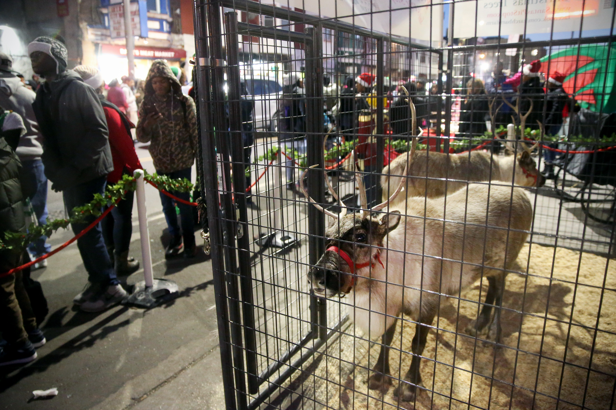 Live reindeer stand in a pen during a Christmas toy giveaway organized by Saudia Shuler in front of her restaurant, Country Cooking, in North Philadelphia on Wednesday, Dec. 20, 2017. TIM TAI / Staff Photographer