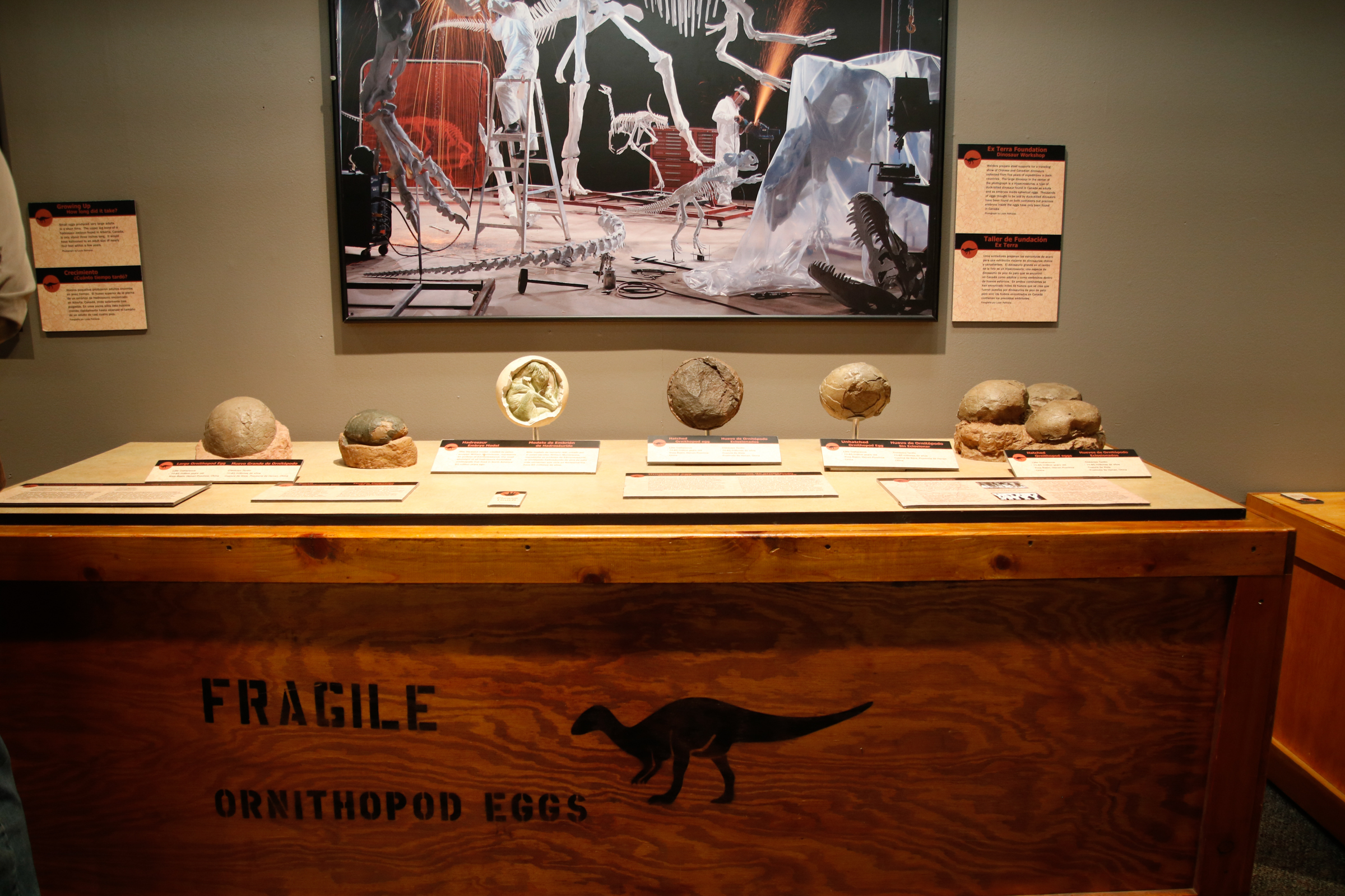 """This display, part of The Academy of Natural Sciences´ exhibit """"Tiny Titans: Dinosaur Eggs and Babies,"""" shows different Ornithopod eggs."""