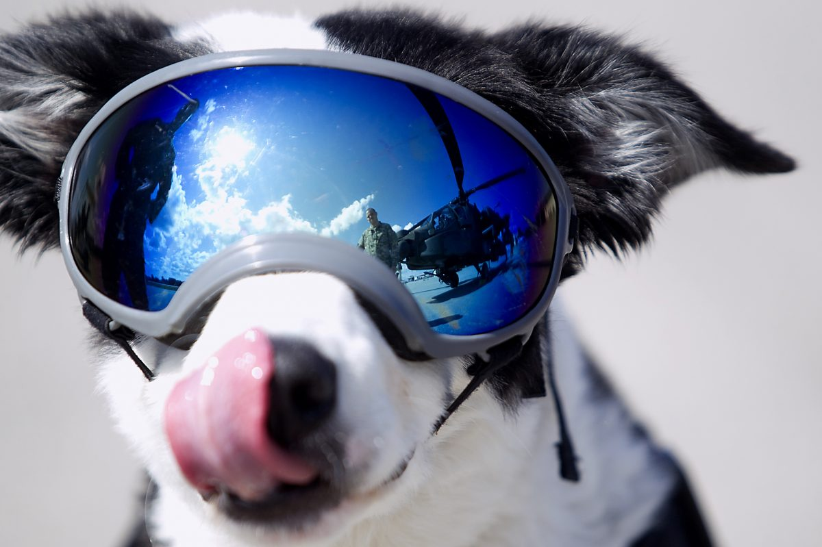 In this undated photo the AH-64 Apache is reflected in Piper the dog's goggles at Cherry Capital Airport in Traverse City, Mich. The speedy border collie that gained internet fame for chasing critters off the Michigan airport's runways has died after a yearlong fight with cancer.