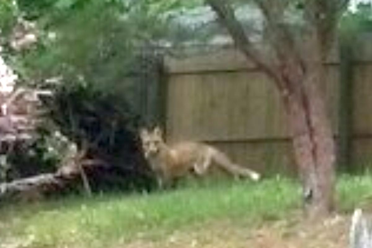 police red foxes causing trouble in bucks neighborhoods