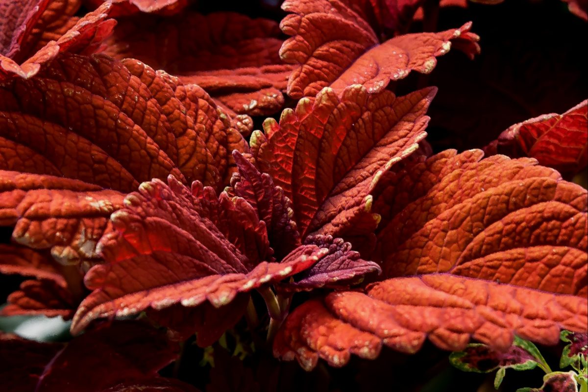 Partner coleus varieties together for showy combinations. (Handout/TNS)