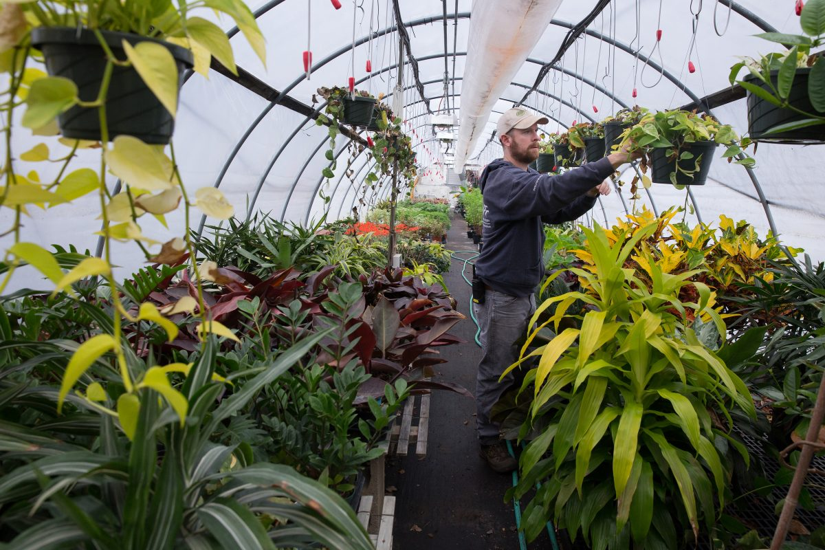 Nathan Roerich, Meadowbrook Farm Greenhouse Manager, tends to plants in a greenhouse at PHS Meadowbrook Farm, in Jenkintown, Thursday, February 22, 2018. The dracaena limelight plant is shown here, front right, and will used in the entrance garden of the Flower Show.