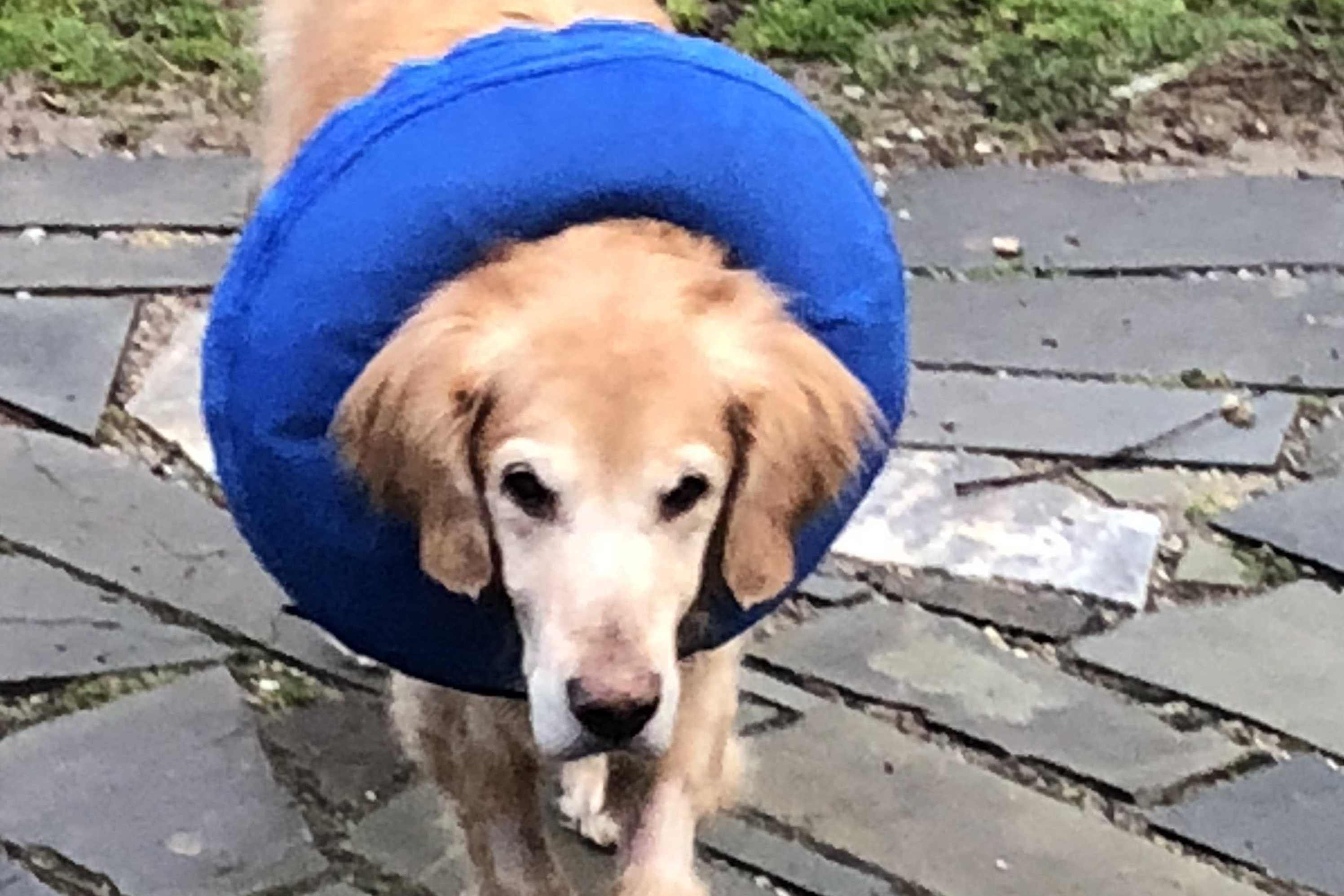 Major, sporting a snazzy recovery collar, after surgery.