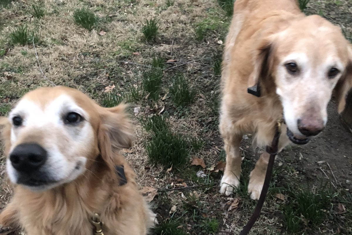 Major (right), enjoying his first postsurgery walk with his little brother, Max.
