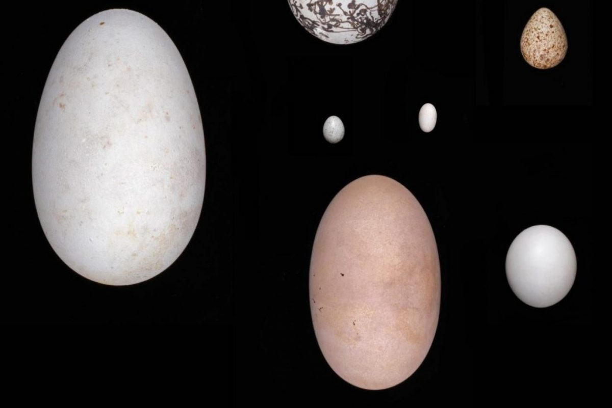 Eggs, clockwise from top right: eastern screech owl, maleo, wandering albatross, common murre, least sandpiper and, center, broad-tailed hummingbird above the graceful prinia. Harvard Museum of Comparative Zoology.