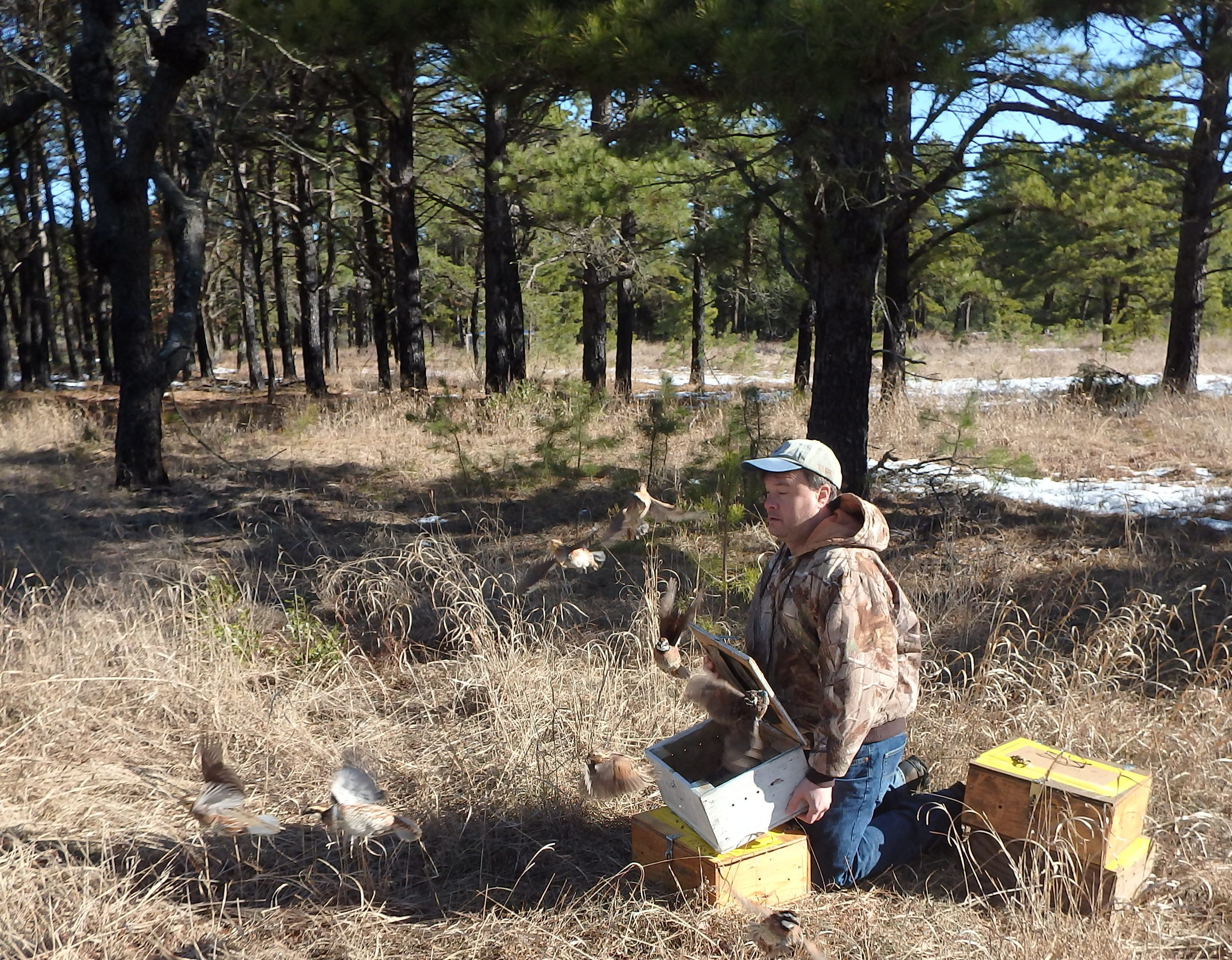 John Parke, of the NJ Audubon Society, releasing wild Northern bobwhite quails from Georgia on a cranberry farm in the Pinelands.