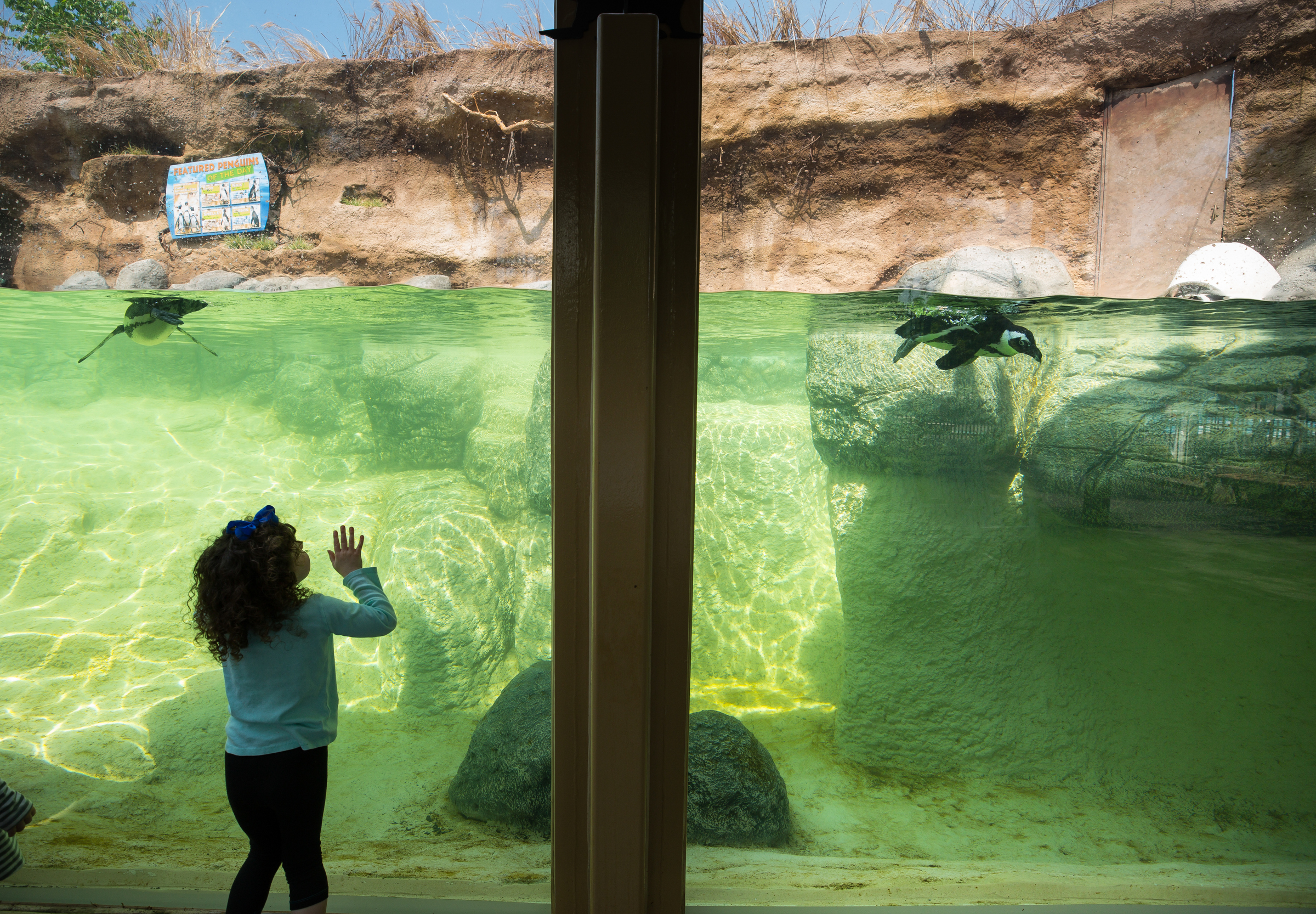 Four-year-old Khloe Henry of Cherry Hill visits the rare African penguins which are back on display in a new outdoor landscape that more closely mimics their natural environment, at the Camden Aquarium.