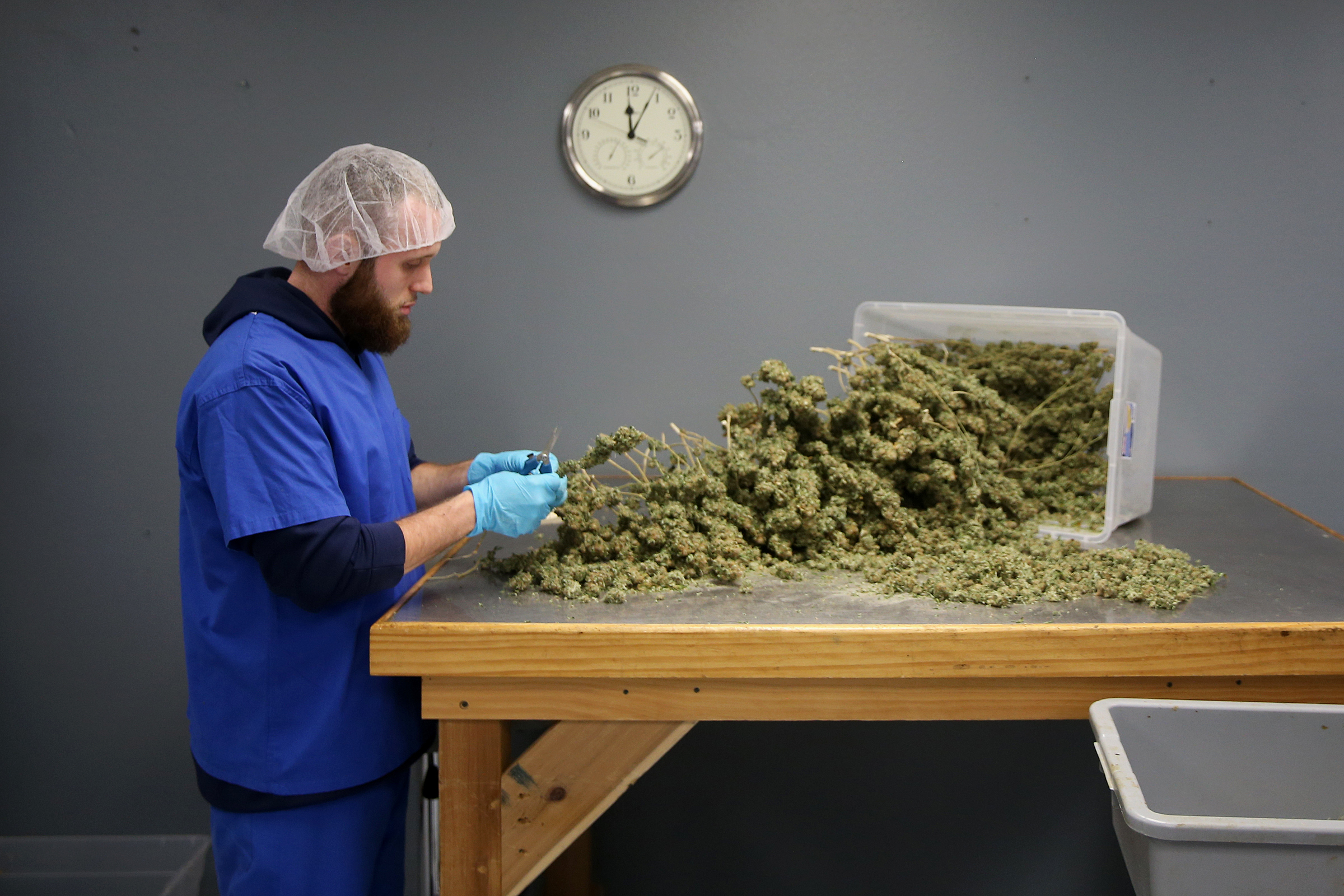 Assistant grower Joe Winkler de-stems marijuana buds in the processing room at the Compassionate Care Foundation medical marijuana dispensary and cutivation center in Egg Harbor Township, N.J., on Wednesday, June 6, 2018. The foundation hopes to open additional dispensaries in South Jersey and also plans to convert a former greenhouse in Sewell, N.J., into another cultivation facility.