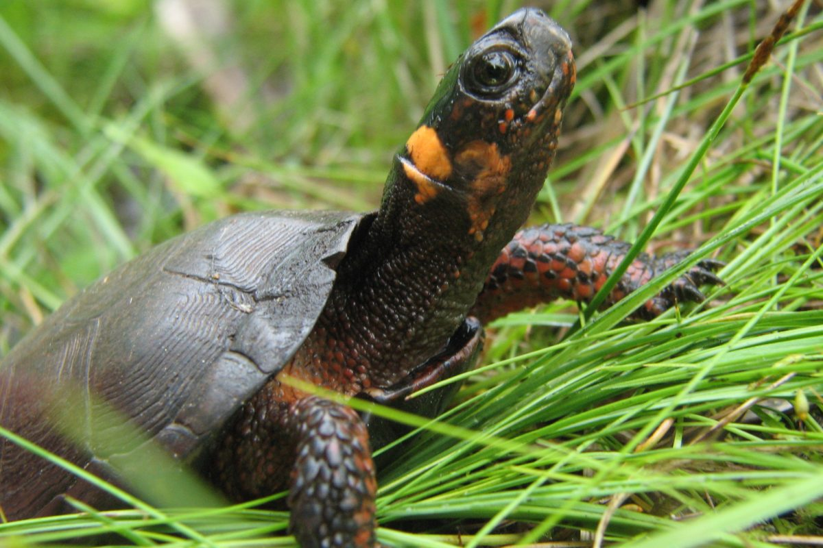 Gov. Phil Murphy signed legislation Monday June 18, 2018 naming the bog turtle the first state reptile.