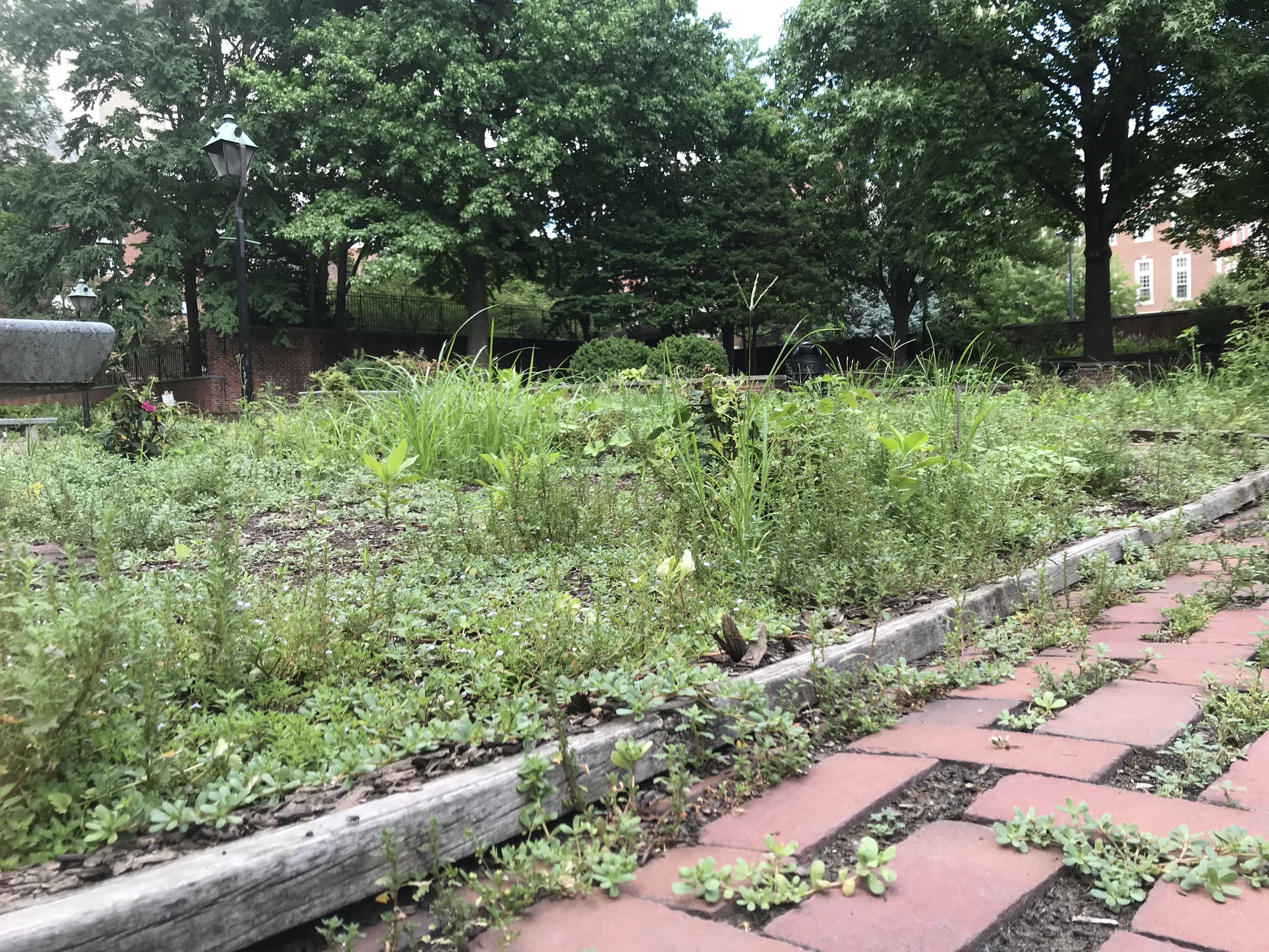 The Rose Garden overseen by the Independence National Historical Park in Philadelphia, bordered by Walnut and Locust Streets, between 4th and 5th, has been overgrown with weeds recently. It´s seen here July 5, 2018.