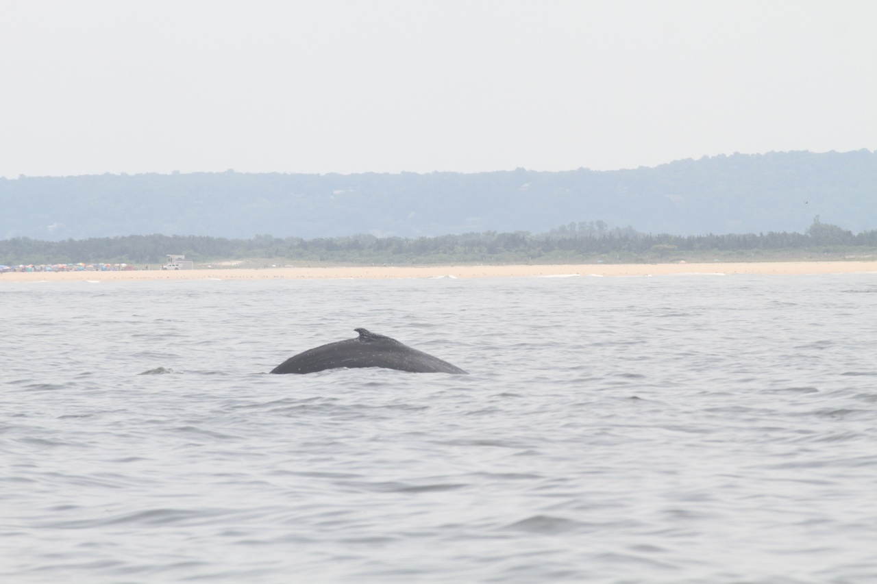 The humpback whale, now free of its entangling rope, swimming off Sandy Hook, N.J. on Wednesday. July 11, 2018.