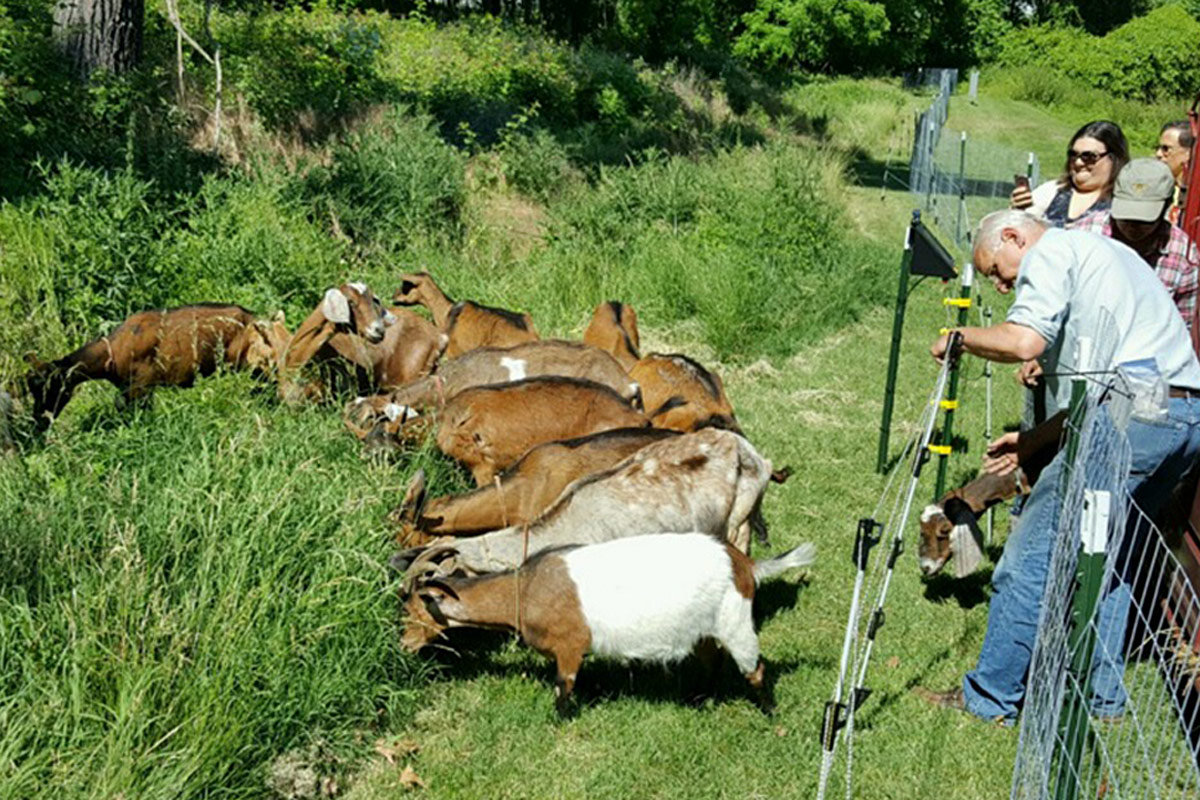 In 2015, a collection of goats helped clear a section of Upper Merion Township´s Bob White Park.