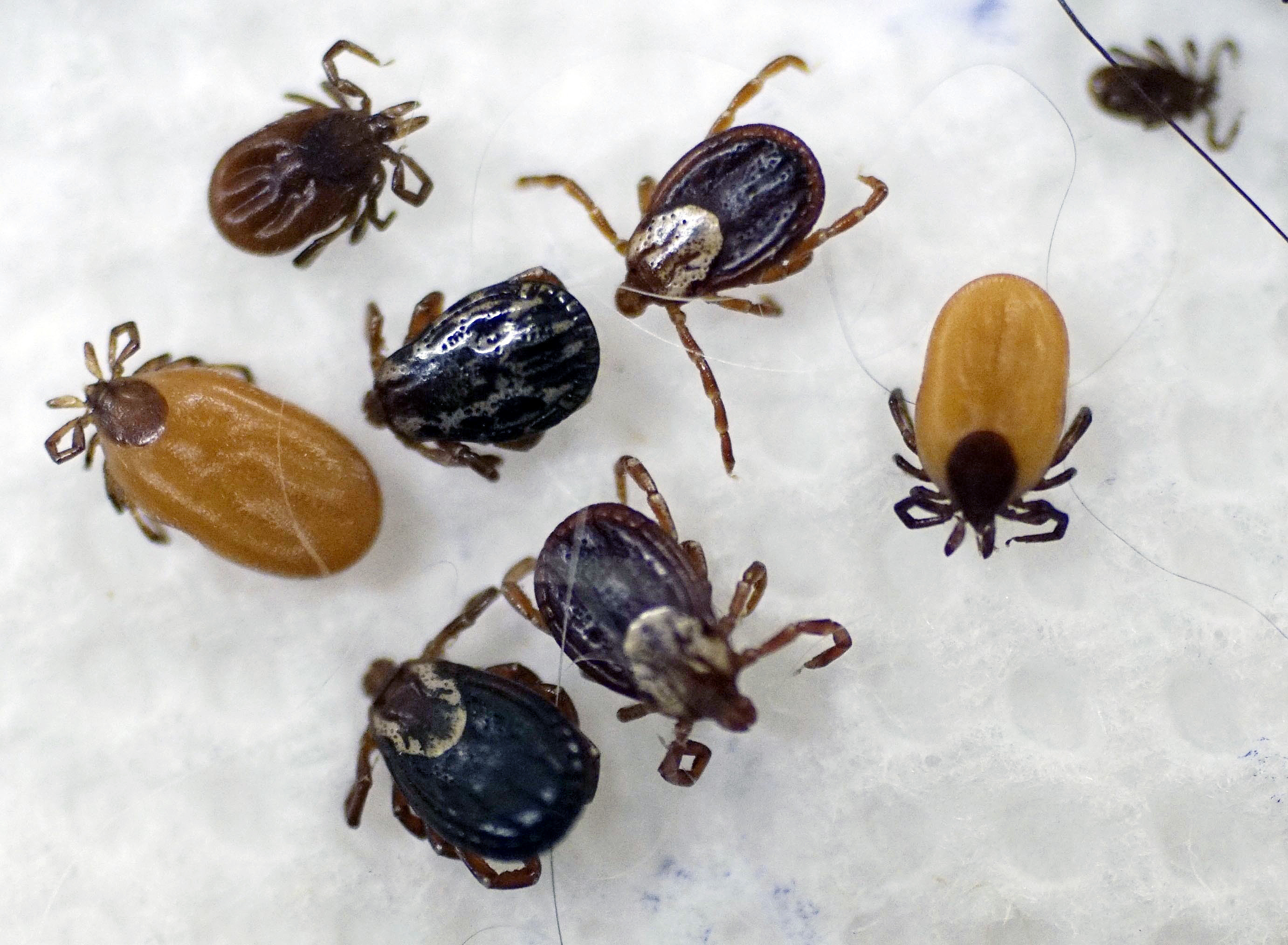 A collection of ticks at by South Street Veterinary Services in Pittsfield, Mass., in May 2017. Better here than on you. (Ben Garver/The Berkshire Eagle via AP, File)