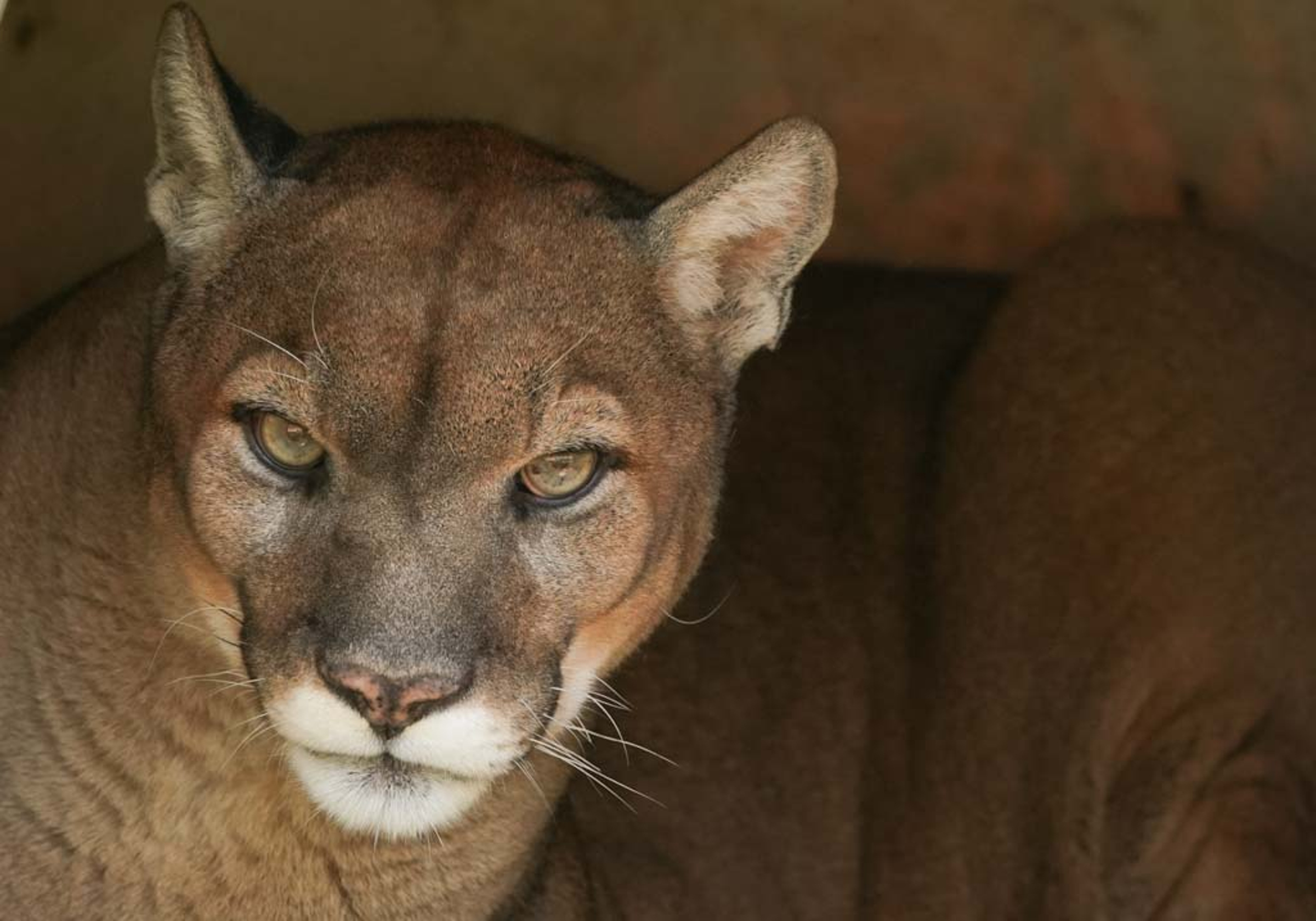 A mountain lion named Rocky, at the East Coast Animal Rescue, Tuesday, September 4, 2018.
