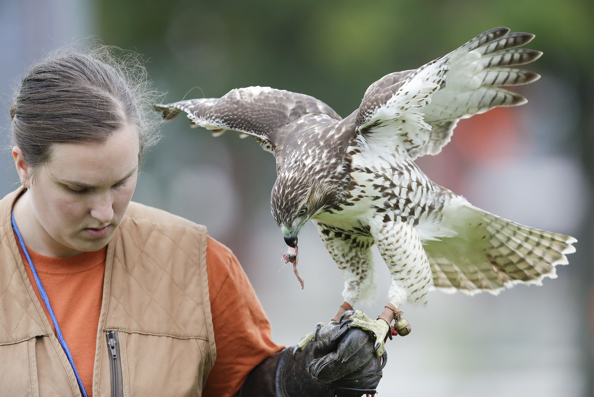 Red-tailed hawk Addy eats a piece of meat during a training session with licensed falconer Courtney Douds at the 48th & Woodland Playground in Southwest Philadelphia on Friday, September 14, 2018. YONG KIM / Staff Photographer