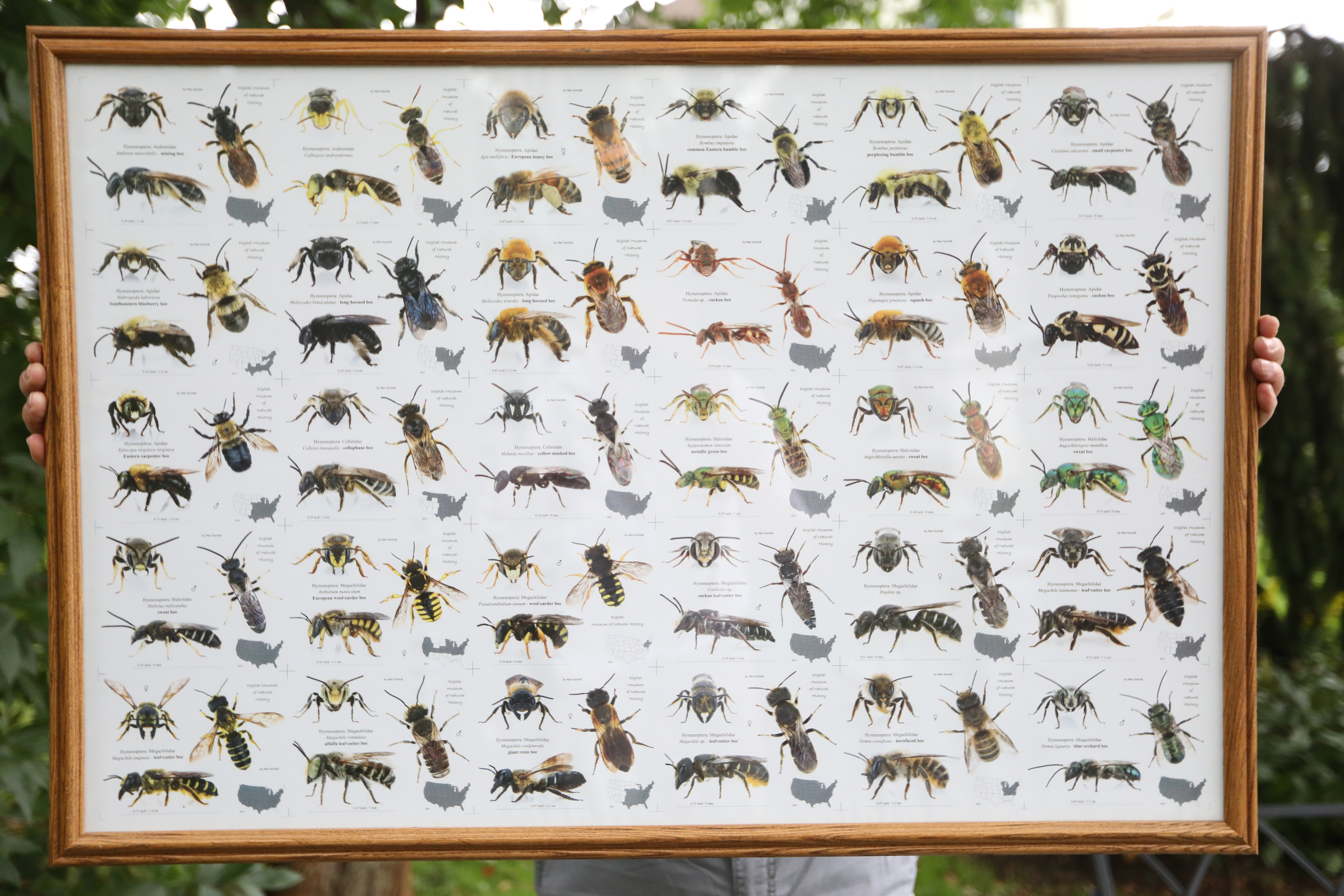 Keith Snyder holds up a print of pollinating insects. Experts say stings are often falsely attributed to bees, who resemble many other species of similar insects.