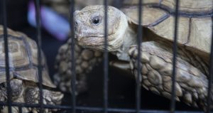 A tortoise moves in cage along with four others Thursday, October 18, 2018 from an Upper Hanover home. Authorities rescued at least 240 animals from a home on the 1100 block of Station Road in Upper Hanover Township, including more than 100 snakes, as well as several alligators, ferrets, skunks, turtles and at least half a dozen guinea pigs.