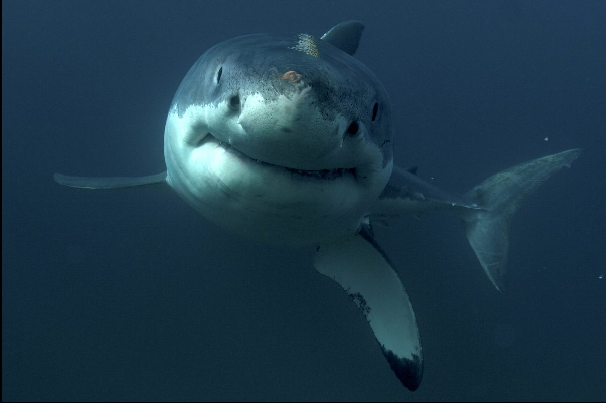 "A great white shark in Discovery's ""Great White Serial Killer Lives,"" premiering on Shark Week on Sunday"