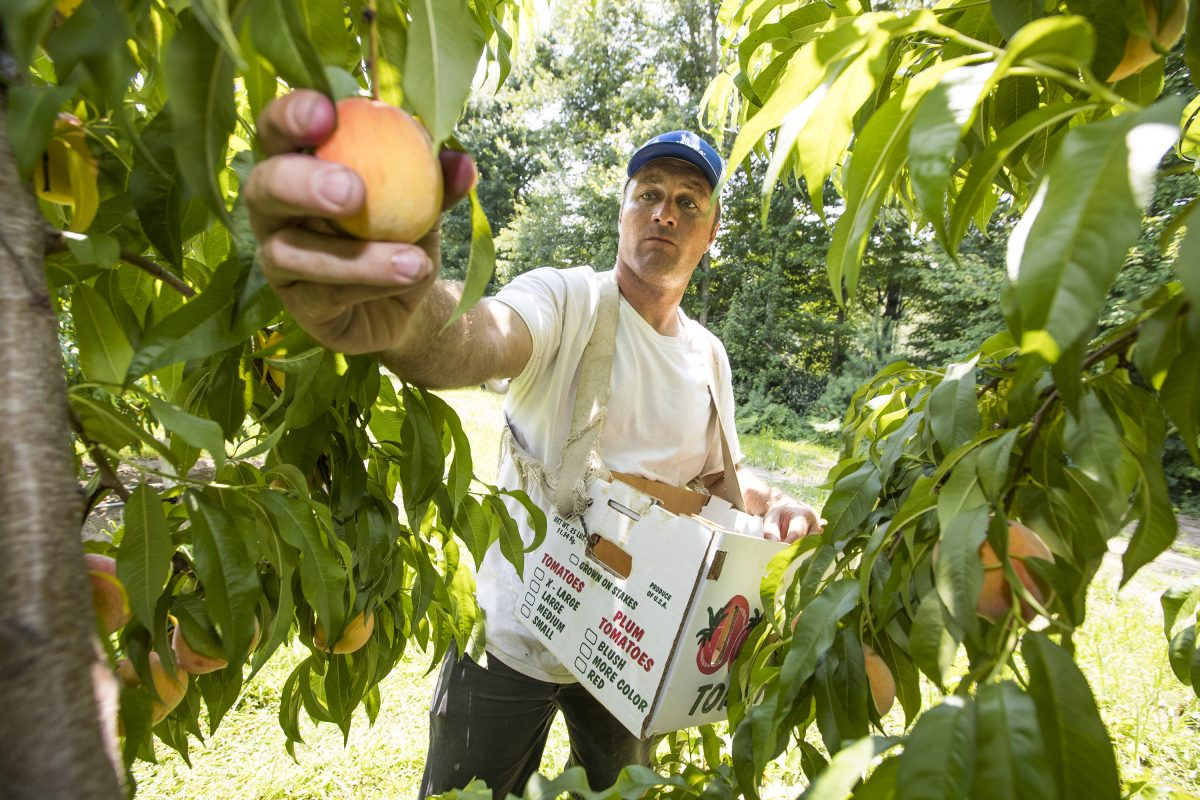 Matt Duffield picks peaches on July 19, 2017, in the orchards at Duffield's Farm Market in Sewell, N.J.