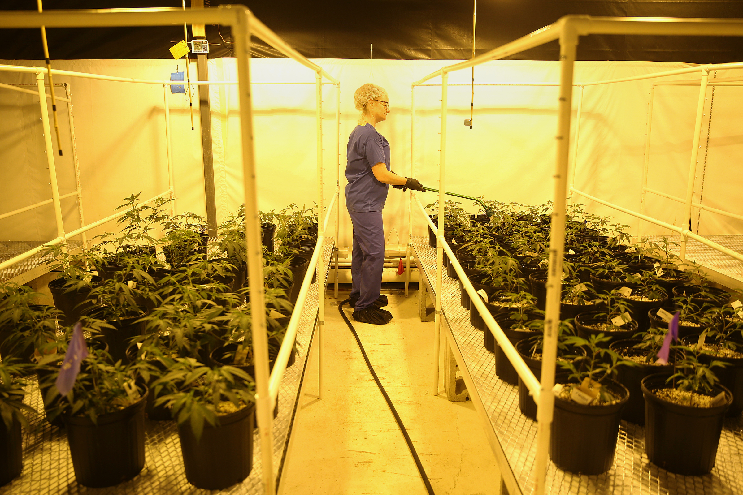 Heather Randazzo, a grower, feeds marijuana plants approaching the flowering stage at the Compassionate Care Foundation medical marijuana dispensary and cutivation center in Egg Harbor Township, N.J.