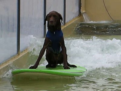 A dog tests out Bruce McFarland´s wave float in preparation for the Tournament of Roses Parade.