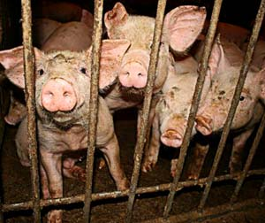 Close confinement of animals increases the risk of diseases spreading.