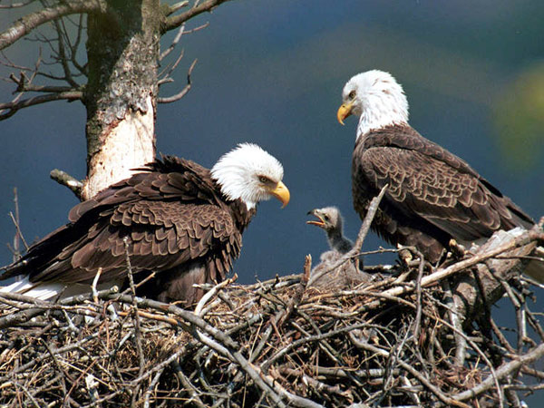 Two bald eagles with an eaglet at Raystown Lake near Huntingdon, Pa. The Pennsylvania Game Commission says the number of nests in the state at mid-year has reached a new record. (Hal Korber / PA Gaming Commission)