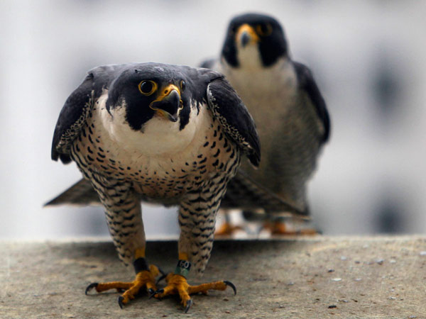 Peregrine falcons have taken up residence on bridges and skyscrapers throughout the region. Pennsylvania Game Commission banded the baby Peregrine Falcons living on top of city hall in Philadelphia on Monday, May 20, 2013. Five falcons were born one died in the nest. ( ALEJANDRO A. ALVAREZ / STAFF PHOTOGRAPHER )