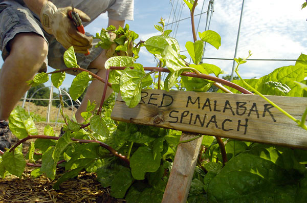 """At Blue Elephant Farm, Mitch Prensky snips Red Malabar spinach for the vegetarian """"harvest menu"""" at his restaurant."""