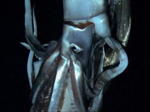 This image is a screenshot of video footage taken by NHK and Discovery Channel in July 2012. It reportedly shows a giant squid in its natural habitat 1/3 of a mile beneath the surface.