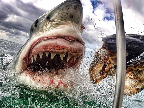 Freak Out Photo Of Great White Shark By Caged S Jersey