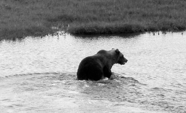 Grizzly bear in Wapusk National Park on Aug. 9, 2008. (Photo by Linda Gormezano)