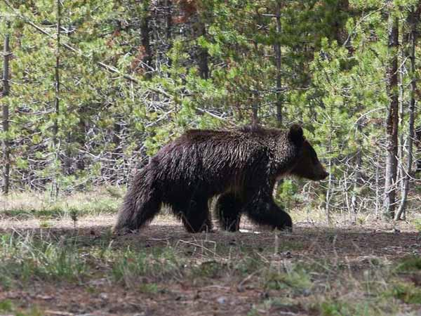 A juvenile grizzly bear wanders the grounds near the Fishing Village Visitor Center. (Brian Sirimaturos/St. Louis Post-Dispatch/MCT)