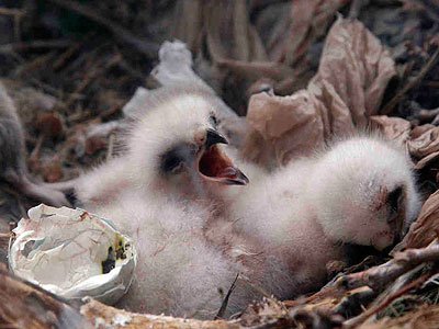 Two of three red-tailed hawk hatchlings in 2011 at the Franklin Institute. This year, the pair of adults produced three more eggs, the last of which hatched yesterday. (MATT ROURKE / Associated Press)
