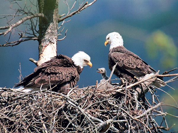 This undated photo released by the Pennsylvania Game Commission shows two bald eagles with an eaglet at Raystown Lake near Huntingdon, Pa. When Pennsylvania officials launched a campaign in 1983 to re-establish the state´s bald eagle population, only 3 pairs of the birds and 12 eaglets remained here. Now in 2006, there are more than 100 bald eagle nests in the state for the first time in over a century. (AP Photo/ Pennsylvania Game Commission, Hal Korber)