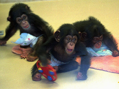 Three baby chimps at play. (AP Photo/Dale Fulkerson