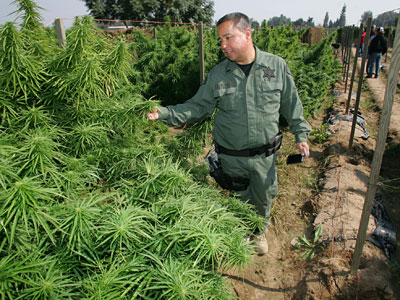 Fresno County Sheriff Officer, Lt. Richard Ko sifts through marijuana in a field, which was later eradicated Wednesday, Oct. 12, 2011 in Sanger, Calif. (AP Photo/Gary Kazanjian)