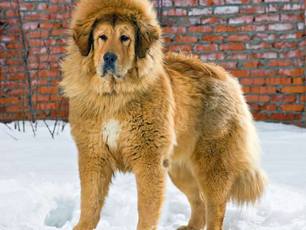 A heavy coat of fur isn´t the only thing that makes this Tibetan Mastiff well-suited for cold temperatures. (iStock photo)