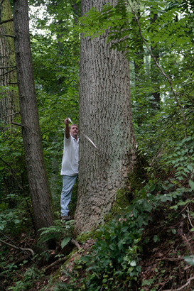 A worker from the Fairmount Park Operations Division measures the circumference of the tulip poplar tree that was the source of a fallen branch that killed Mary Katherine Ladany on August 5, 2009. ( Elizabeth Robertson / Staff Photographer )