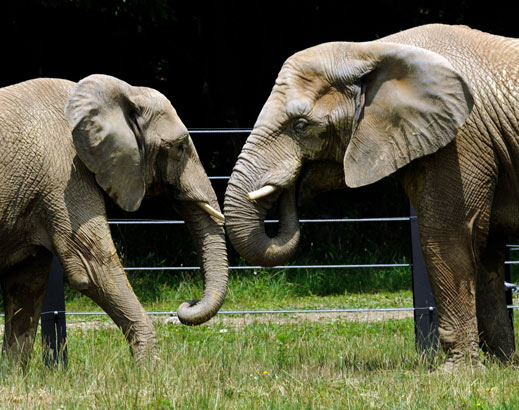Former Philadelphia Zoo elephants Bette (left) and Kallie trunk-to-trunk at the International Conservation Center in Western Pennsylvania in July 2009.<br />