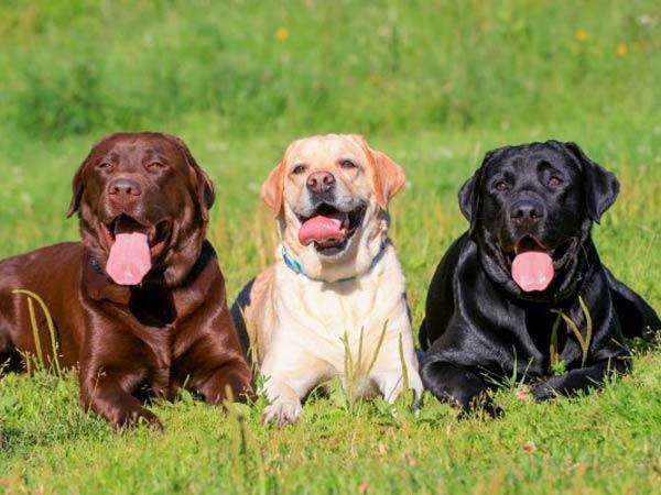 Labrador original breed
