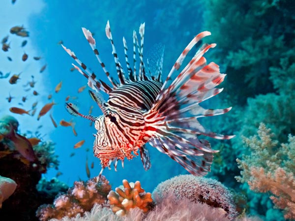 Lionfish on a coral reef.