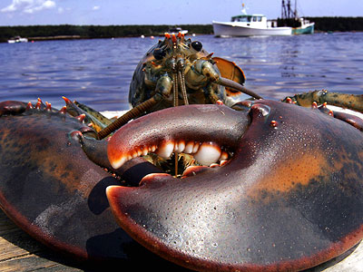 A muscle protein, tropomyosin, is the major allergenic factor contained in shellfish. Shellfish includes both crustaceans (shrimp, crab, lobster) and mollusks (clams, mussels, oysters). (AP Photo/Pat Wellenbach)