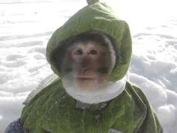 How do you beat a monkey in a snow suit?