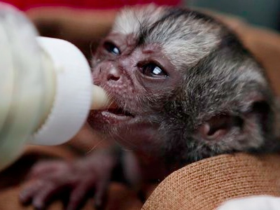  A 15-day-old night monkey is fed at a temporary shelter west of Bogota, Colombia, Monday, Feb. 18, 2013.  (AP Photo/Fernando Vergara)
