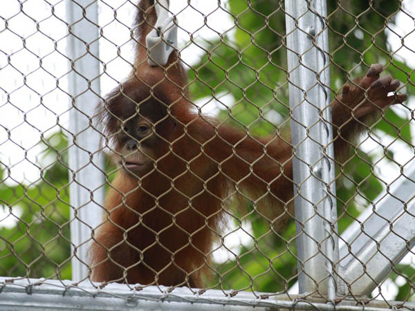 Batu, a female Sumatran orangutan swings from a new trail at the Philadelphia Zoo August 14, 2012. ( DAVID SWANSON / Staff Photographer )