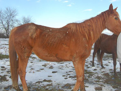 A Morgan horse rescued from a central Pa. farm in early January by the Humane Society of Harrisburg.